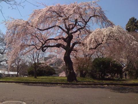 仙台 榴ヶ岡公園の桜